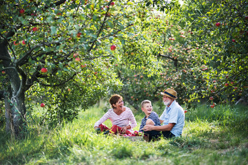 A senior couple with small grandson sitting on grass in apple orchard.