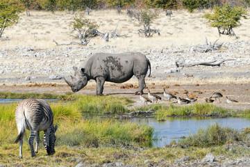 black rhino, zebras, egyptian geese in Namibia