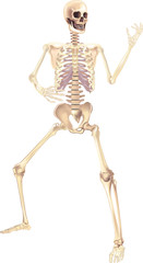 Human Skeleton Vector illustration isolated on a white background useful for creating medical and scientific materials. Anatomy, medicine and biology concept.