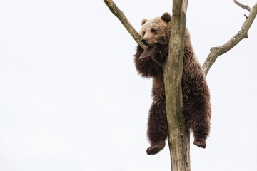 Young brown bear in a tree