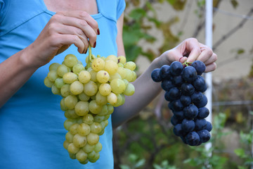 Bunch of ripe grapes in woman's hand. Woman hold white and red grape in hands