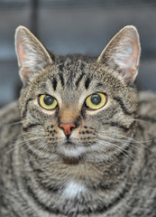 portrait of a tabby cat close