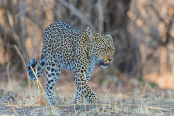 An African leopard (Panthera pardus pardus), South Luangwa, Zambia