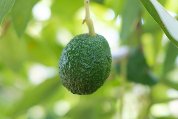 avocado fruit hanging on branch of tree