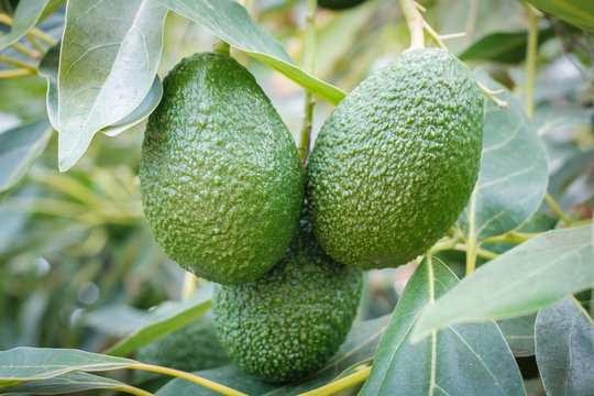 avocado fruits hanging on branch of tree