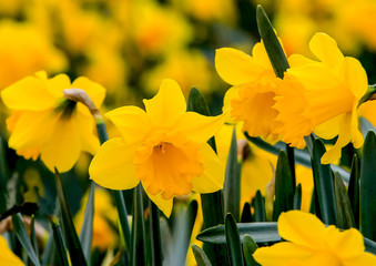 Deurstickers Narcis Beautiful yellow daffodils