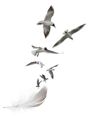 seagulls flying from striped feather isolated on white