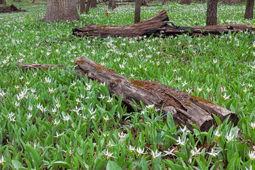 A Rebirth of White Trout Lilies