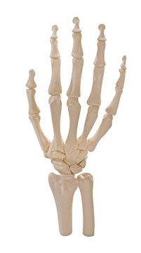 skeleton of hand isolated on white