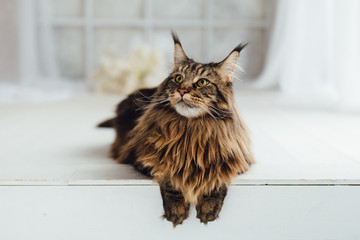 Maine Coon cat on white background Wall mural