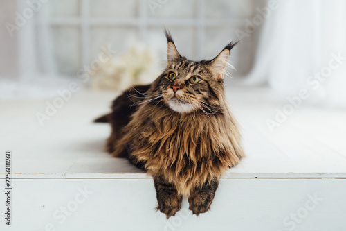 Wall mural Maine Coon cat on white background