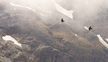 Two flying alpine choughs with a mountain landscape on bacground