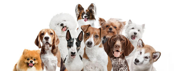 Differents dogs looking at camera isolated on a white studio background