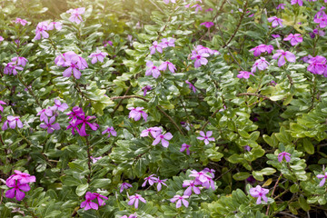 Nature of MADAGASCA flower pink color in garden drought tolerant plants.