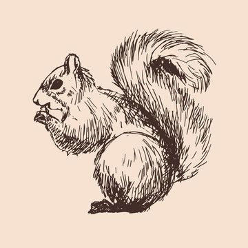 Vector sketch of squirrel
