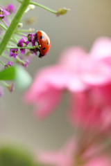 lady-beetle in the garden/ red beetle on a flower close-up