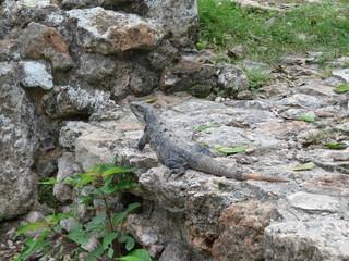 Großer Leguan sitzt auf einem Stein