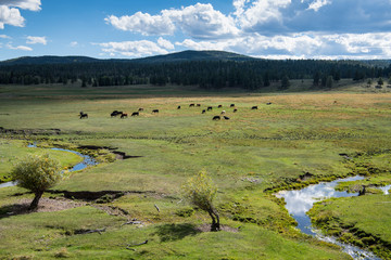 Cattle grazing on lush green grass on a ranch in northern New Mexico