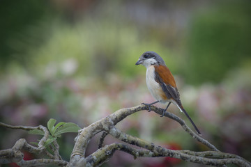 birds in Thailand (Burmese Shrike, Chestnut-backed Shrike)