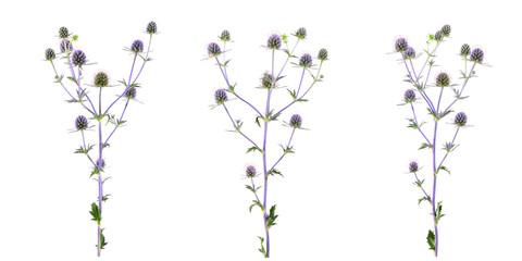 Isolated Eryngium (Eringo) Flower Plant.