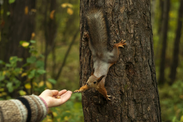 funny red squirrel, sitting on a tree, with his paw reaches for a woman's hand, on which lies a nut