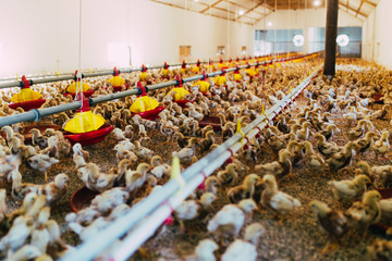 Large group of chicks in chicken farm. Selective focus.