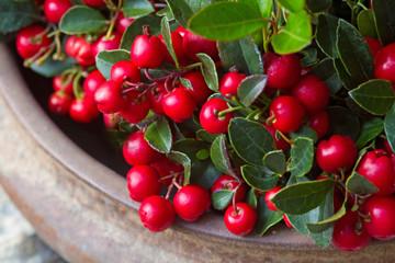 Scheinbeere mit roten Früchten in einer Schale