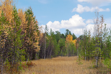 Forest in the Siberian swamp in the autumn