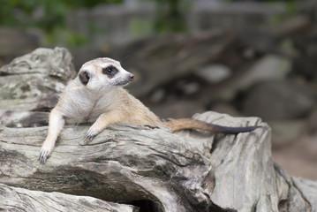 Meerkat looking for something