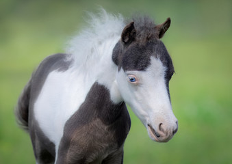 Wall Mural - American Miniature Horse. Portrait close up of pinto foal with blue eyes.