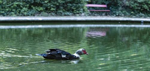 Anatra multi colori che nuota tranquilla in un laghetto verde, con una panchina rossa sullo sfondo