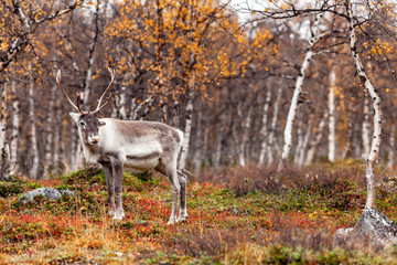 Reindeer in the forest, Lapland, Finland