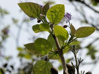Rameaux de grandes feuilles du paulownia (Paulownia tomentosa)