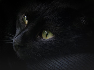 portrait of a black cat with green eyes