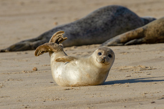 Seal pup on the beach as part of the seal colony at Horsey, Norfolk