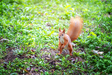 Squirrel in a green forest