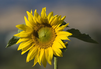 Single Sunflower Standing Against Sky and Hills