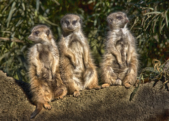 Group of Meerkats on Guard