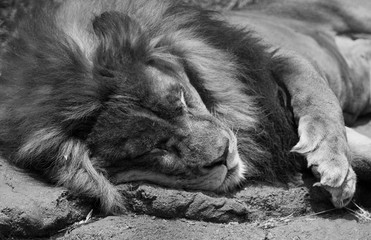 Lion Sleeping on Warm Rock in Black and White