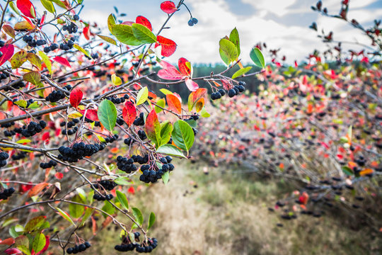 Aronia (chokeberries) growing in a field - in the late summer time