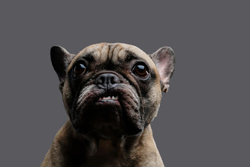 Close-up photo of a growling pug on gray background.