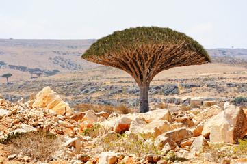 Dragon tree (Dracaena cinnabari) in Socotra island, Yemen