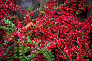 Rowanberry on shrub