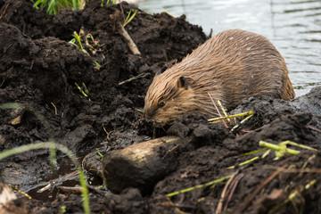 A large beaver pushing mud upto its dam to repair it
