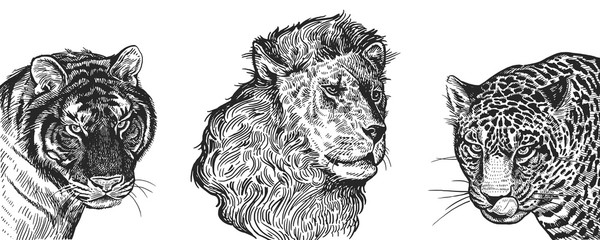 Realistic portrait of African animals Lion, Tiger and Jaguar. Vintage engraving. Black and white hand drawing. Vector