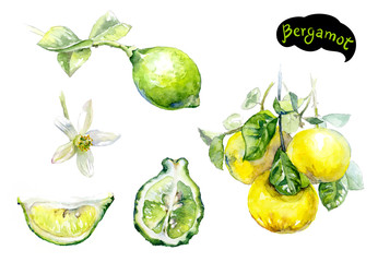 bergamot watercolor hand drawn illustration isolated on white