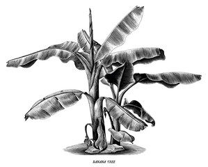 Banana tree vintage hand draw engraving clip art isolated on white background