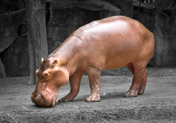 Hippos are relaxing in the natural atmosphere of the zoo.