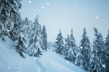 Wall Mural - Christmas view with snowfall in fir forest