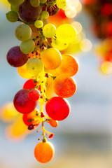 Fototapete - grappolo d'uva multicolore
